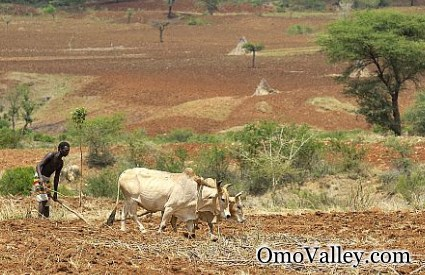 Farmer Plowing fields in Omo Valley where the River is a vital resource