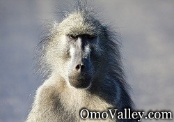A Common Baboon in Africa