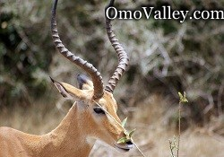 Thomson's Gazelle in Omo Valley