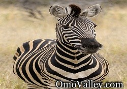 Plains or Burchells Zebra